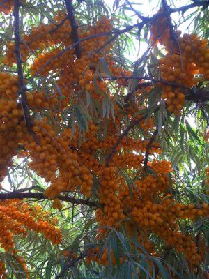 Cultiver l'argousier - argousier avec fruits sur branche