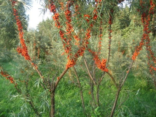 THE IMPORTANCE OF PRUNING SEA BUCKTHORN. - modified leader