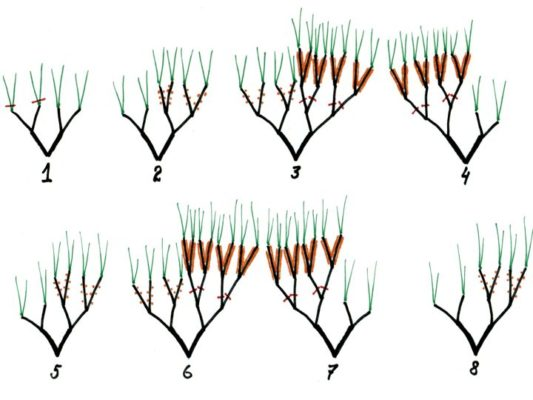 THE IMPORTANCE OF PRUNING SEA BUCKTHORN. - vertical split
