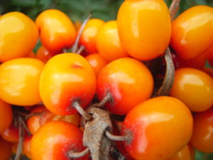 our sea buckthorn products | berries