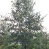 Male Sea Buckthorn bush. Cultivar; Lord