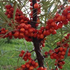 plants d'argousier du cultivar Tatiana