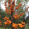 Sea buckthorn shrubs Mary
