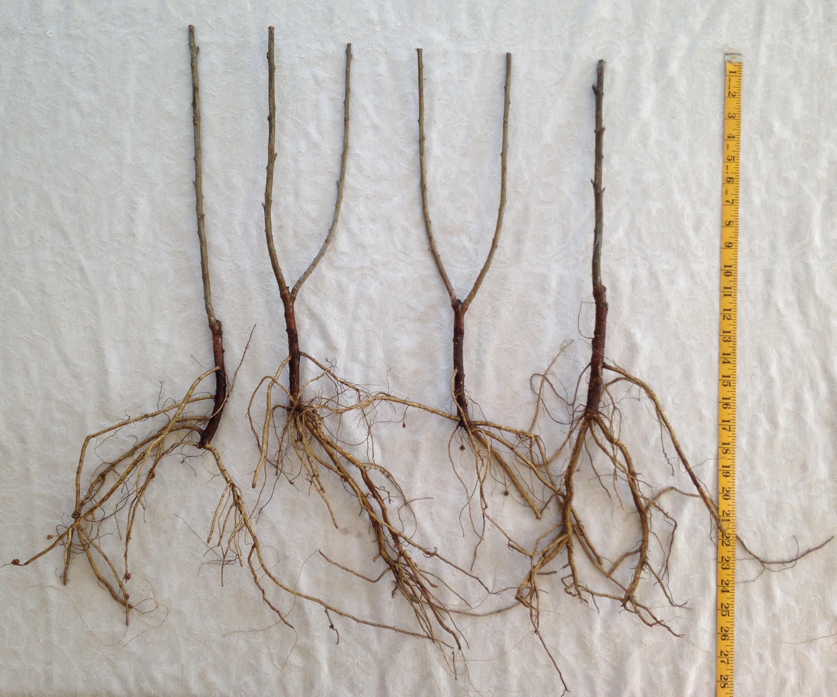 Bare Root SeaBuckthorn Shrubs