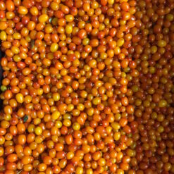 Sea buckthorn berry harvest